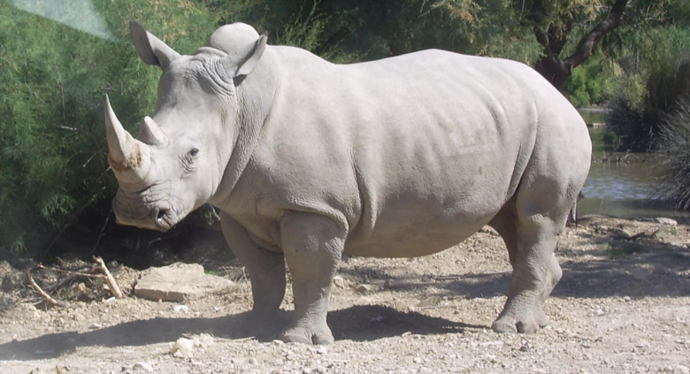 northern-white-rhino-extinction
